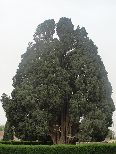 The Zoroastrian Sarve or Cypress of Abarkhu